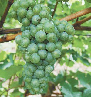 oregon chardonnay
