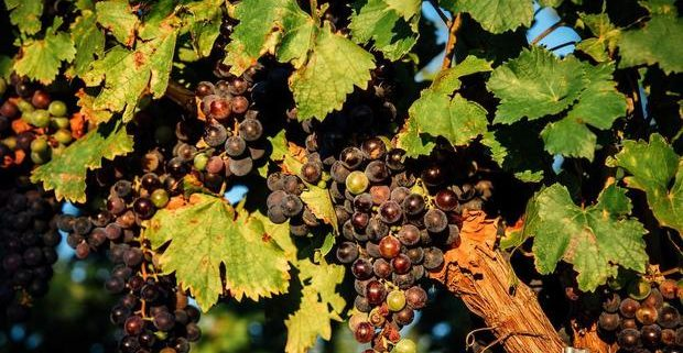 Mencia grapes on the vine